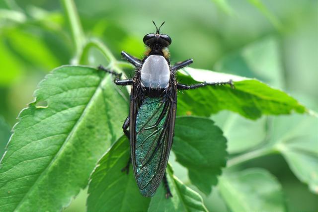 大琉璃食蟲虻 (3)