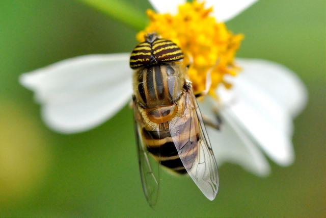 食蚜蠅7(4)