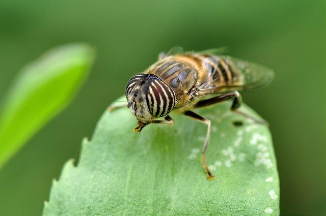食蚜蠅6(1)