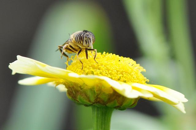 食蚜蠅6(2)