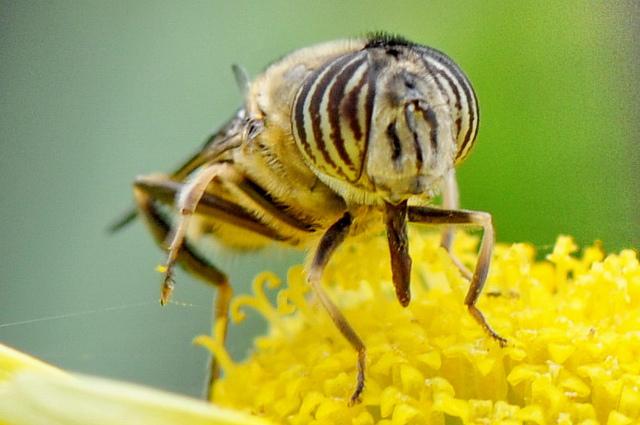 食蚜蠅6(3)