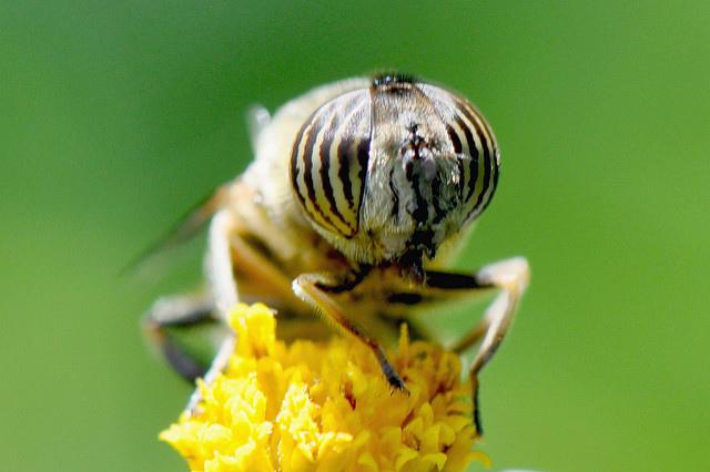 食蚜蠅7(12)