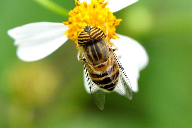 食蚜蠅7(3)