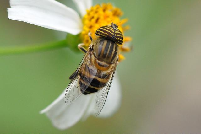 食蚜蠅7(6)