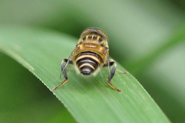 食蚜蠅7(7)