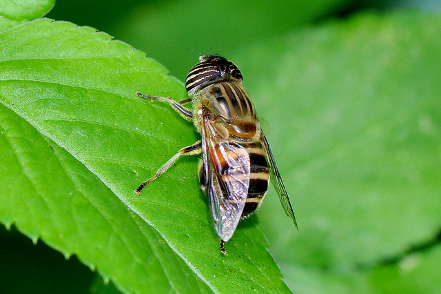 食蚜蠅7(8)