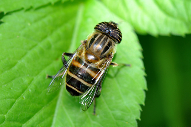 食蚜蠅7(9)