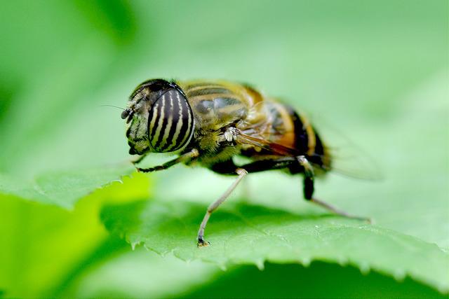 食蚜蠅7(10)