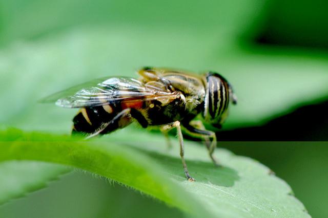 食蚜蠅7(11)