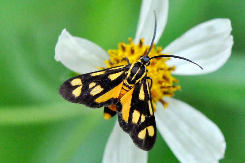 海南禾斑蛾 (3)