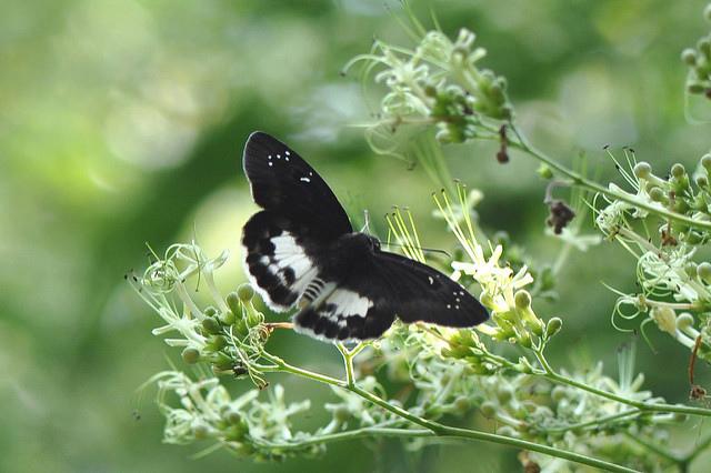 白裙弄蝶 (1)