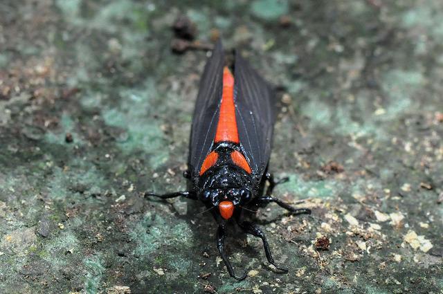 黑翅蟬 (3)