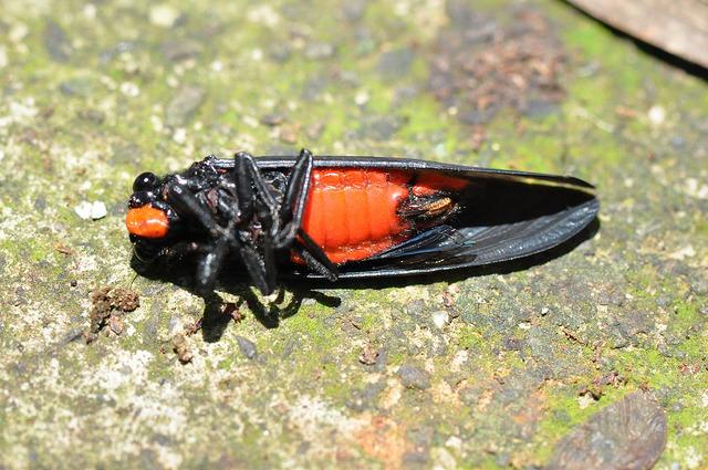 黑翅蟬 (4)