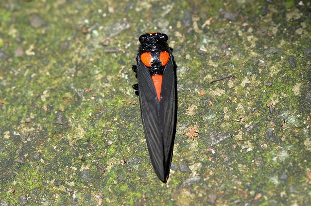 黑翅蟬 (5)