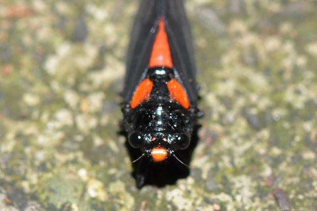 黑翅蟬 (6)
