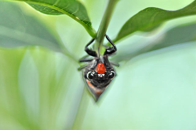 黑翅蟬 (7)