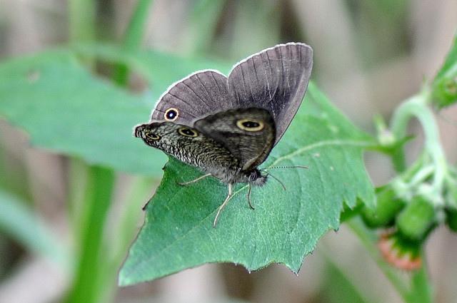 台灣波紋蛇目蝶 (4)