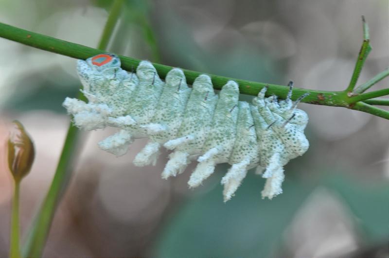 皇蛾終齡若蟲