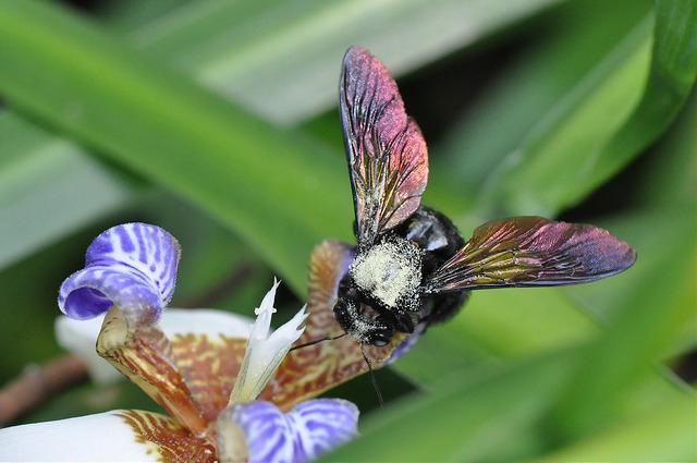 銅翼眥木蜂 (30)