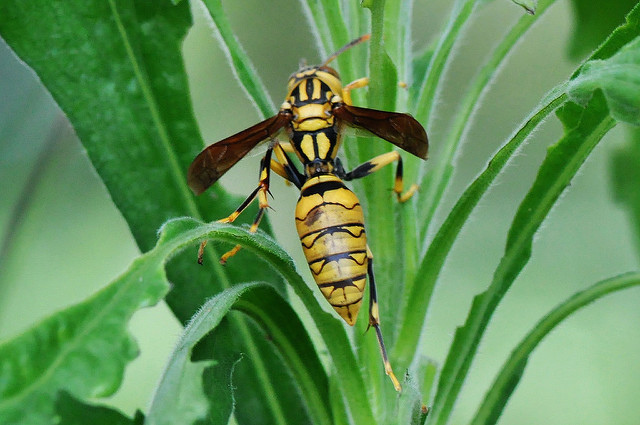 黃長腳蜂 (5)