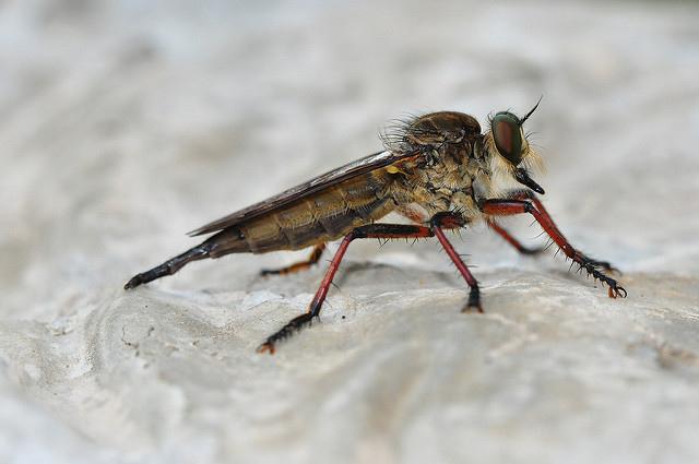 食蟲虻~2(待分類) (9)