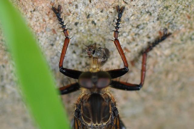 食蟲虻~2(待分類) (16)