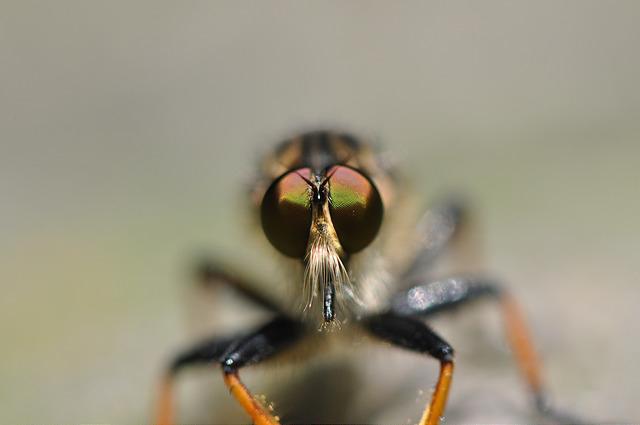 食蟲虻~2(待分類) (18)