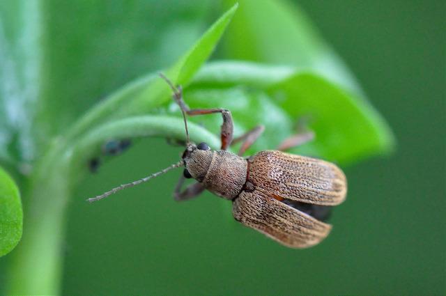 紅背絨毛金花蟲 (5)