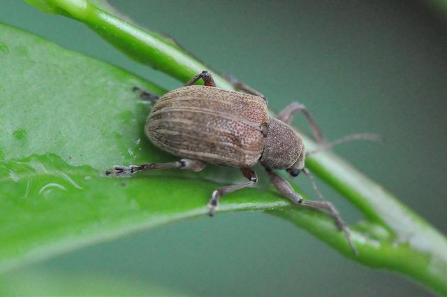 紅背絨毛金花蟲 (1)