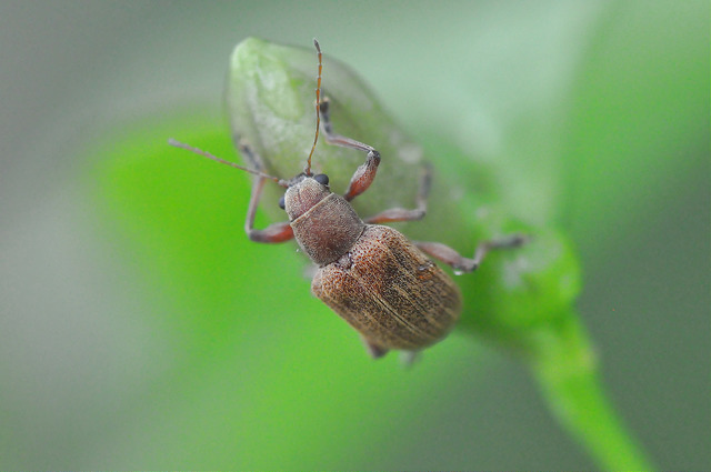紅背絨毛金花蟲 (2)
