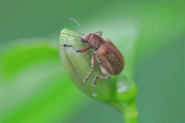 紅背絨毛金花蟲 (8)