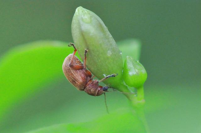 紅背絨毛金花蟲 (7)