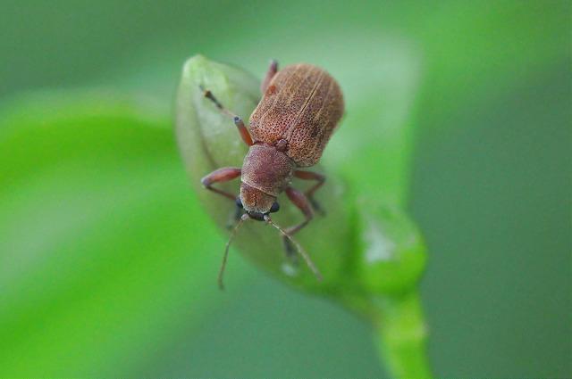 紅背絨毛金花蟲 (9)