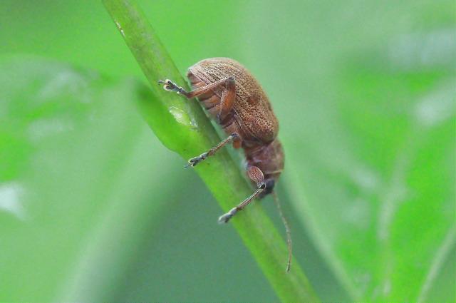 紅背絨毛金花蟲 (10)