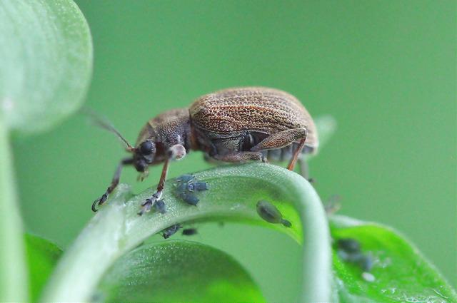 紅背絨毛金花蟲 (12)