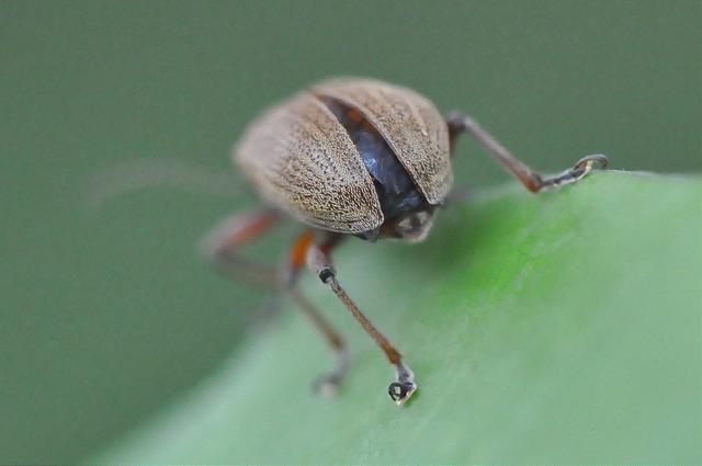 紅背絨毛金花蟲 (17)