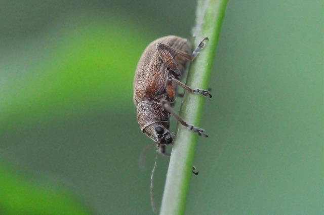 紅背絨毛金花蟲 (24)