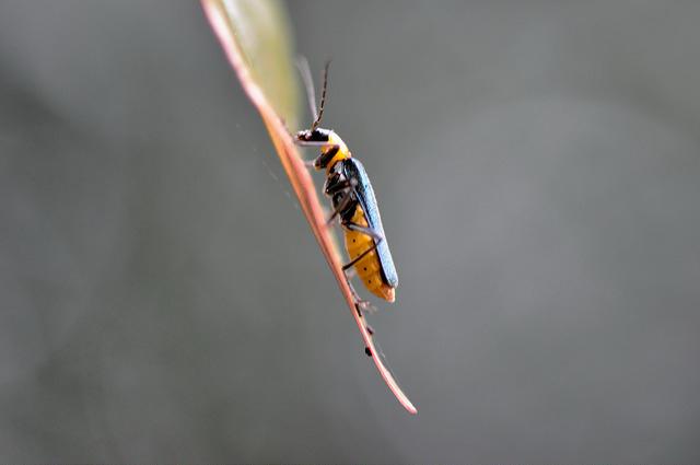 菊虎 (3)