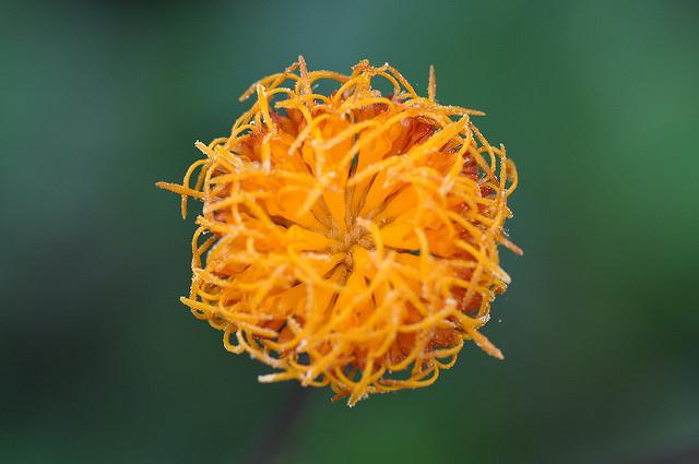 紅鳳菜 (19)
