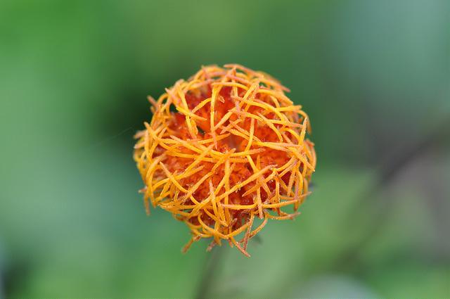 紅鳳菜 (17)