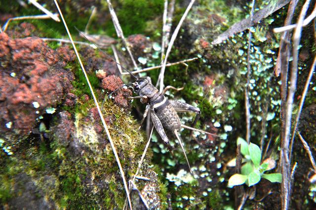 白緣眉紋蟋蟀 (1)