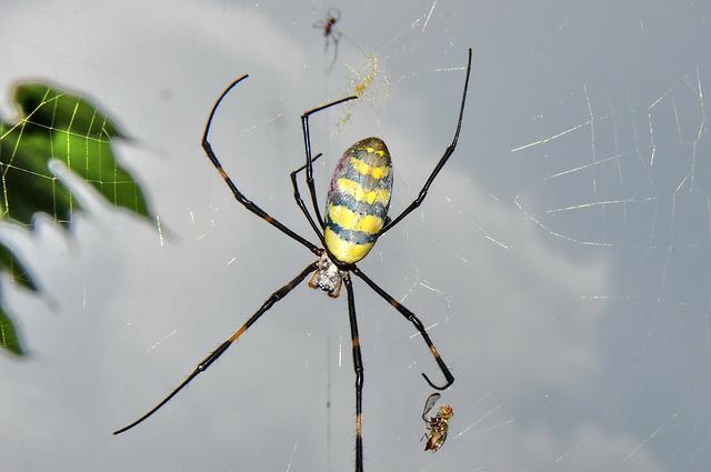 橫帶人面蜘蛛 (3)