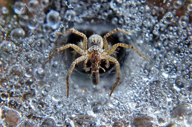 長疣馬蛛 (10)