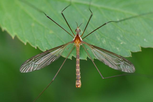 香港大蚊 (14)
