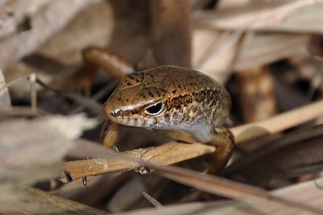 印度蜓蜥 (5)
