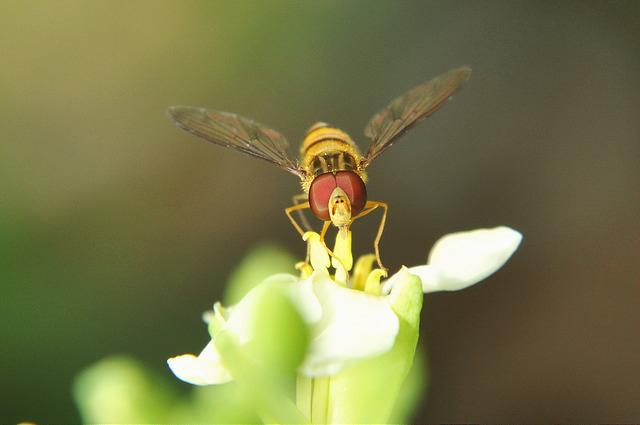 食蚜蠅4(4)