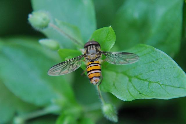 食蚜蠅4(1)