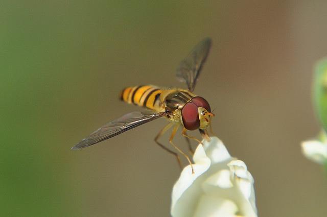 食蚜蠅4(14)