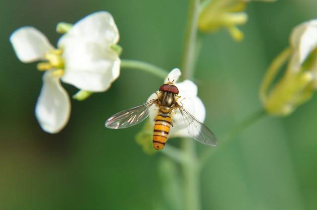 食蚜蠅4(2)