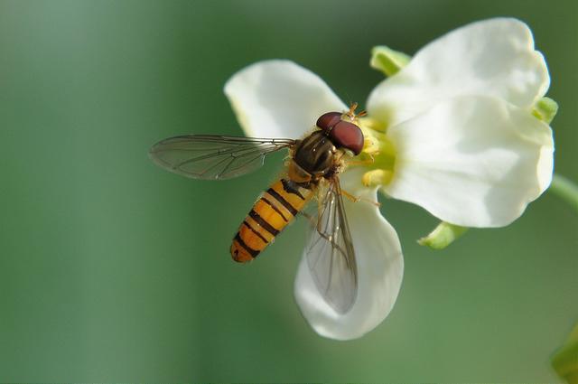 食蚜蠅4(3)